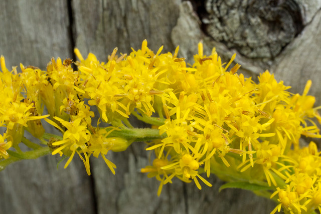 Solidago canadensis, Bledsoe SF, Bledsoe County, Tennessee