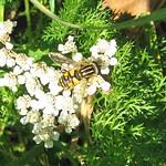 Gemeine Sumpfschwebfliege (Common Tiger Hoverfly, Helophilus pendulus)