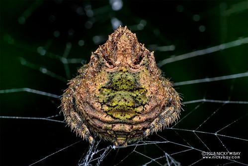 Broad-headed bark spider (Caerostris bojani) - DSC_2927 | by nickybay