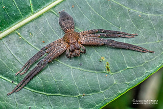 Huntsman spider (cf. Olios sp.) - DSC_2843 | by nickybay