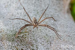 Nursery web spider (Euprosthenopsis sp.) - DSC_1021 | by nickybay