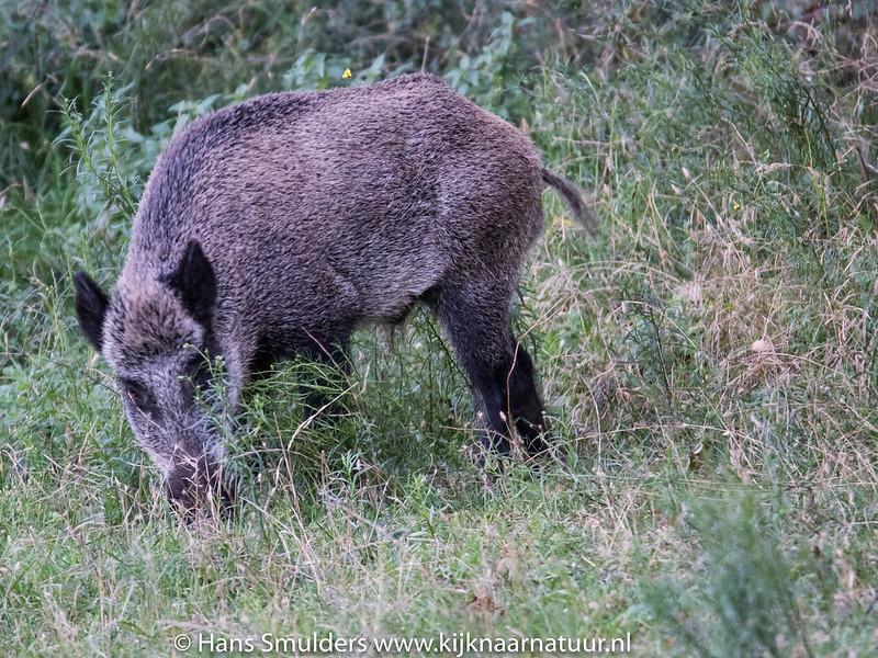 Wild zwijn (Sus scrofa)-818_5914