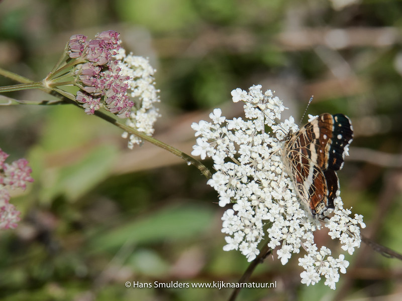 Landkaartje (Araschnia levana)-818_5866
