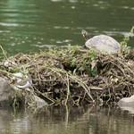 Flussuferläufer (Actitis hypoleucos, links) und Gelbbauch-Schmuckschildkröte (Trachemys scripta scripta) an der Ruhr im NSG Ruhruferstreifen am Golfplatz Oefte