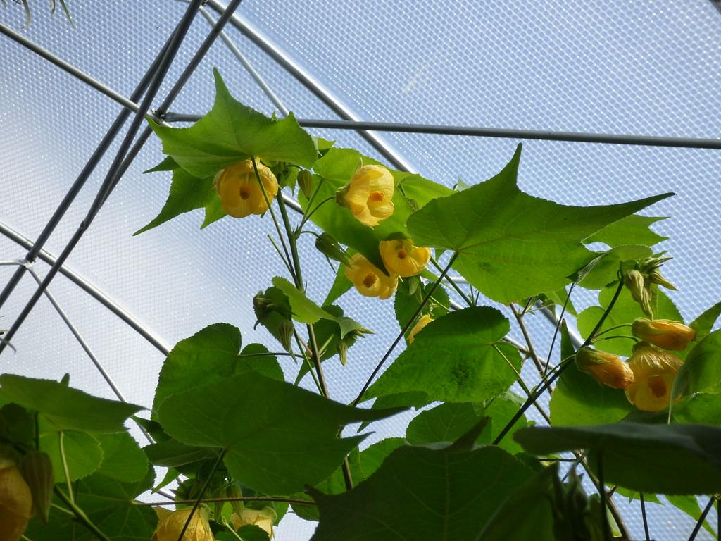 Abutilon Canary Bird Yellow Bell Flower Hybrid Raised Flickr