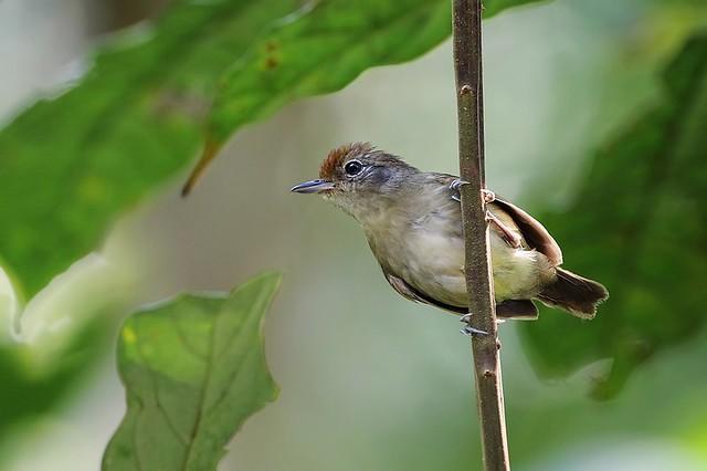 Plain Antvireo / Batarito de Cabeza Gris (Dysithamnus mentalis)