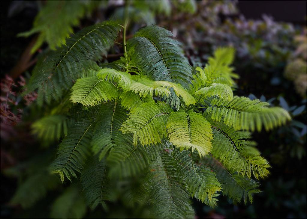 Beautiful Jacaranda Tree Leaves Harish Singhal Flickr