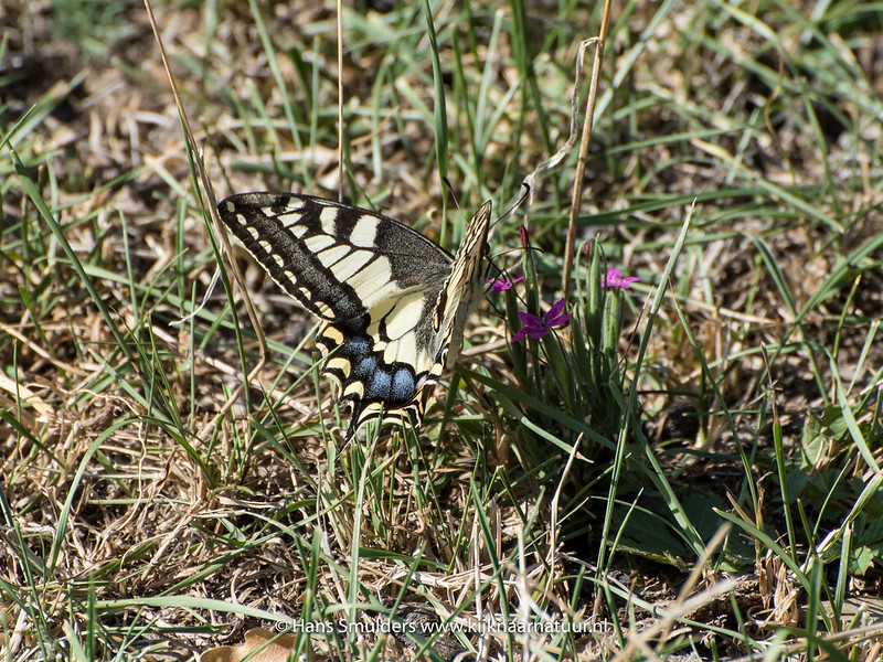 Koninginnenpage (Papilio machaon)-818_5689