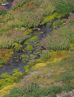 Meadows and stream above Sluiskin Falls with Erythranthe lewisii