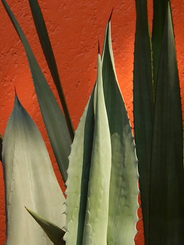 Agave against an orange wall in a Coyacan Museum Patio