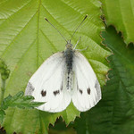 Kleiner Kohlweißling (Small White, Pieris rapae)