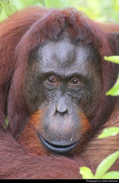 Orang Utan, Tanjung Puting NP, Borneo, Indonesia