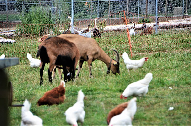 Goats and Chickens 25.08.2018