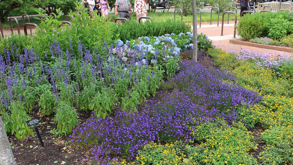 Chicago Botanic Gdn Visitor Center 180721 081 Salvia Fari Flickr