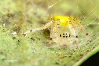 Big-jawed spider (Tetragnathidae) - DSC_1411 | by nickybay