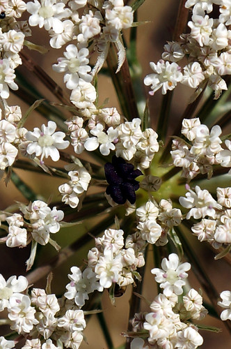 Daucus carota - Crop | by Bieomax