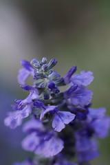blue spires sage