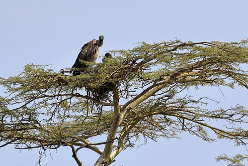 White-backed vulture | by dmmaus