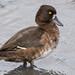 キンクロハジロ(Tufted duck)