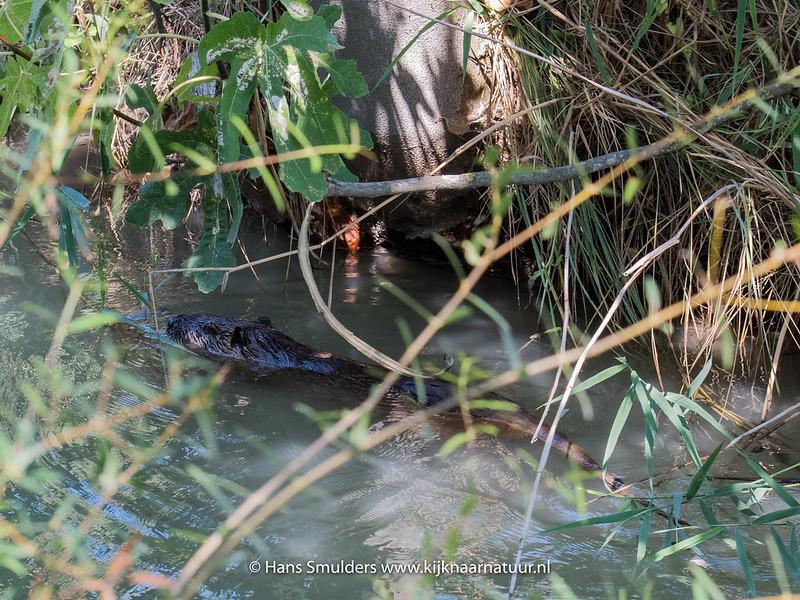 Beverrat (Myocastor coypus)-818_5962