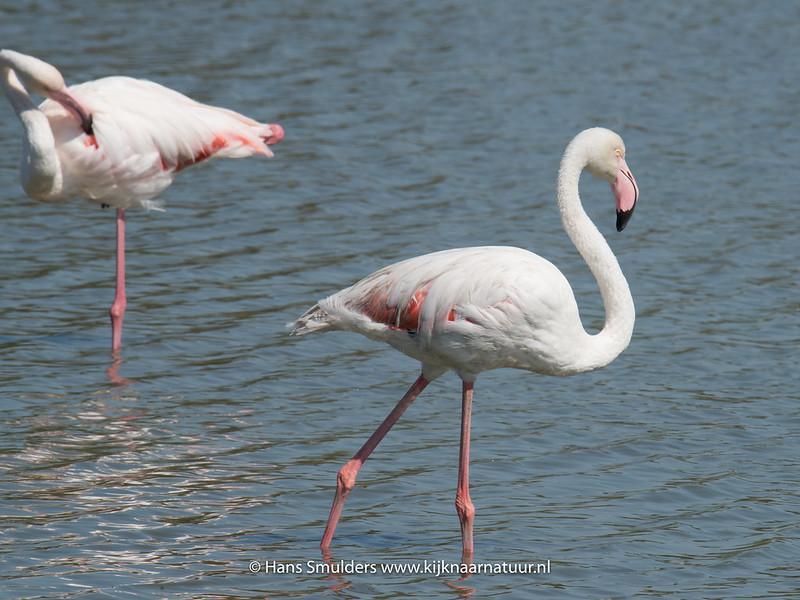 Flamingo (Phoenicopterus roseus)-818_5940