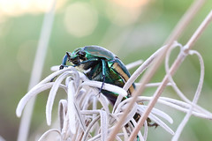 Green June Beetle (Cotinis nitida)