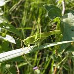 Männliches Grünes Heupferd (Tettigonia viridissima) im Königsforst