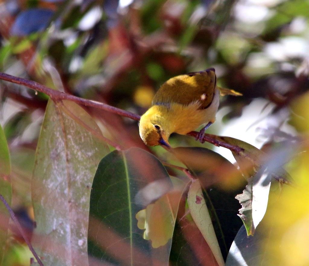 Saíra ferrugem-(fêmea) - Hemithraupis ruficapilla