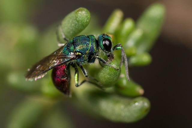 Jewel Wasp (Chrysididae sp.)