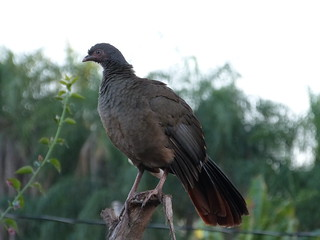 06. Ortalide du chaco - Ortalis canicollis - Chaco Chachalaca | by notjes1966