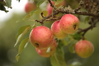 Apples | by Henry Hemming