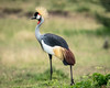 Grey-crowned crane/Balearica regulorum by odileva