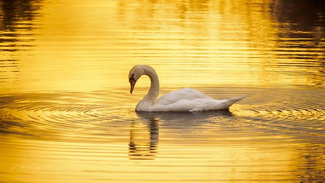Swimming in liquid gold