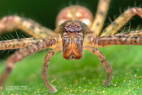 Huntsman spider (Sparassidae) - DSC_8610b | by nickybay