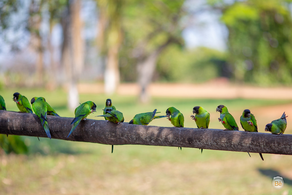 IMG_8114 Periquito - Pantanal - Brasil