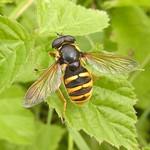 Gelbrand-Torfschwebfliege (Bog Hoverfly, Sericomyia silentis)