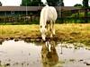 Welsh Pony im Spiegelbild by Sebi87m