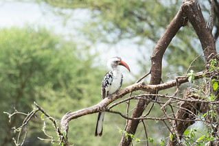 Hornbill. Tarangire | by Laura Jacobsen