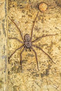 Flatty spider (Hovops sp.) - DSC_2121   by nickybay