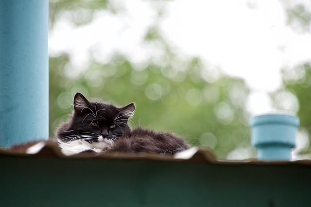 Feral Cat on Cottage Roof