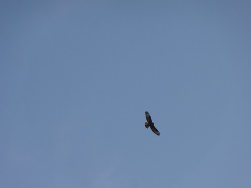 Buzzard in the blue sky | by Mary Loosemore