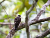 Double-toothed kite (Harpagus bidentatus), juvenile by piazzi1969