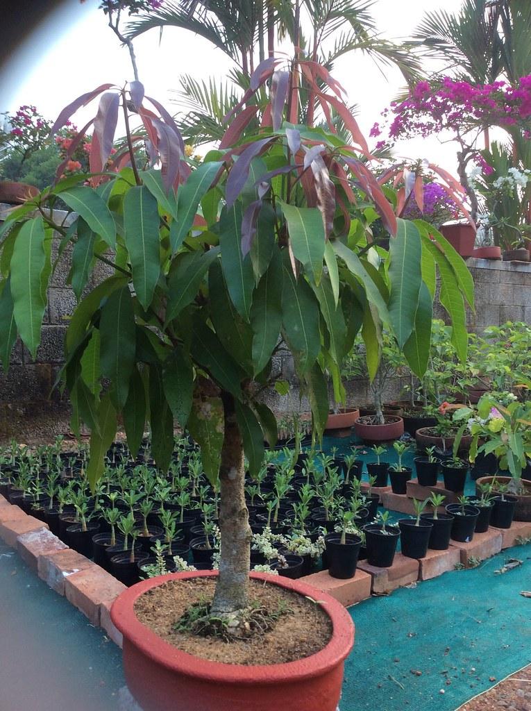 Mango tree bonsai ten years old -
