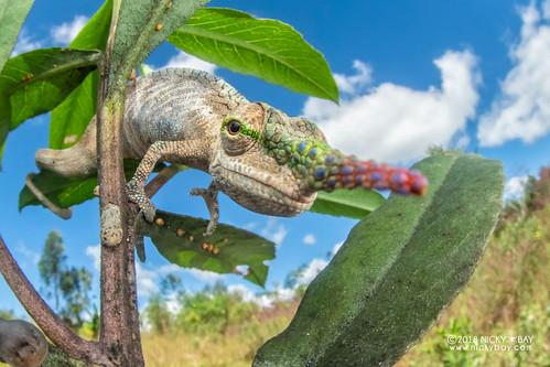 Blade-horned chameleon (Calumma gallus) - DSC_0990