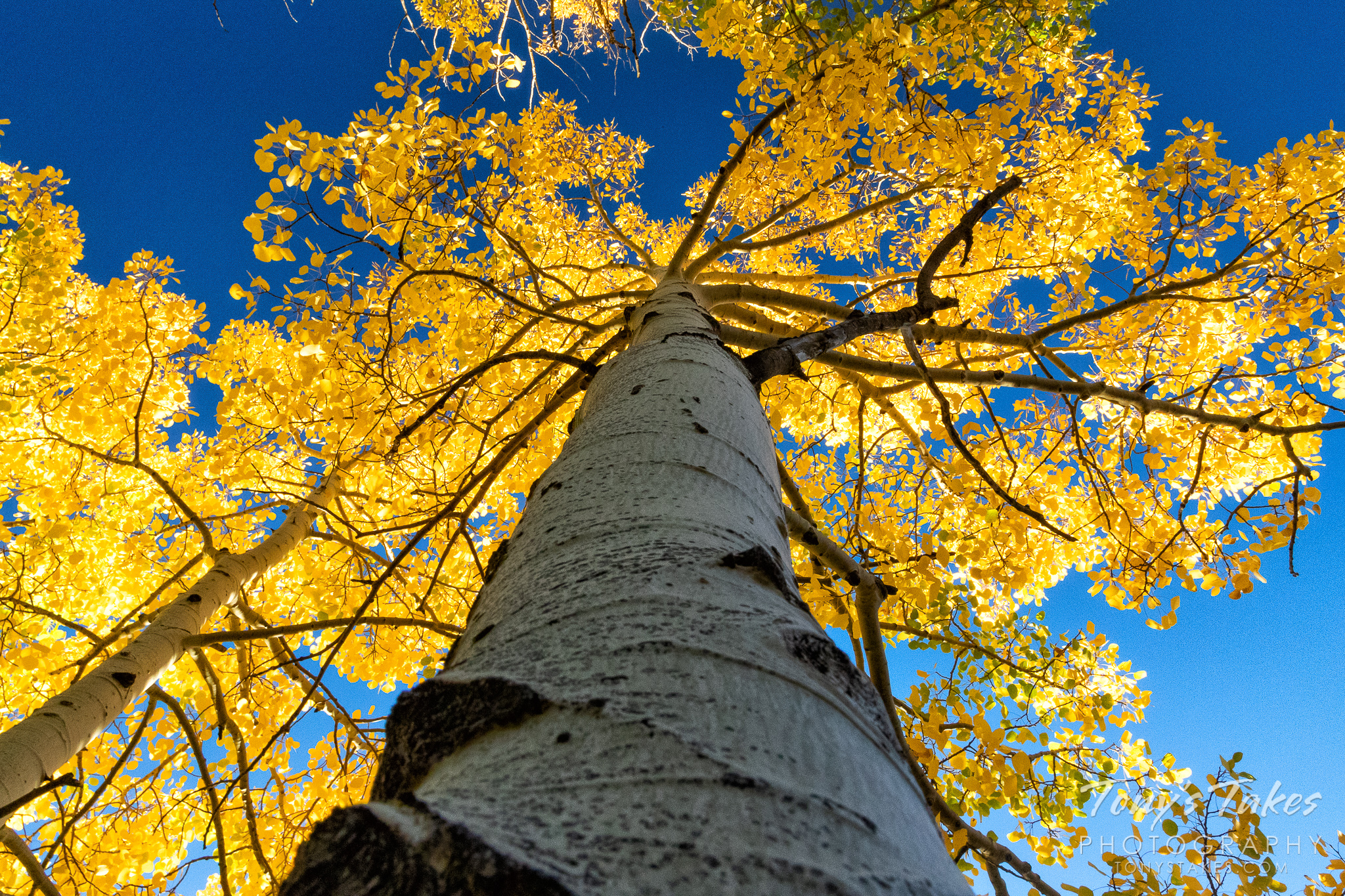 An aspen tree is topped in gold in Rocky Mountain National Park. (Tony's Takes)