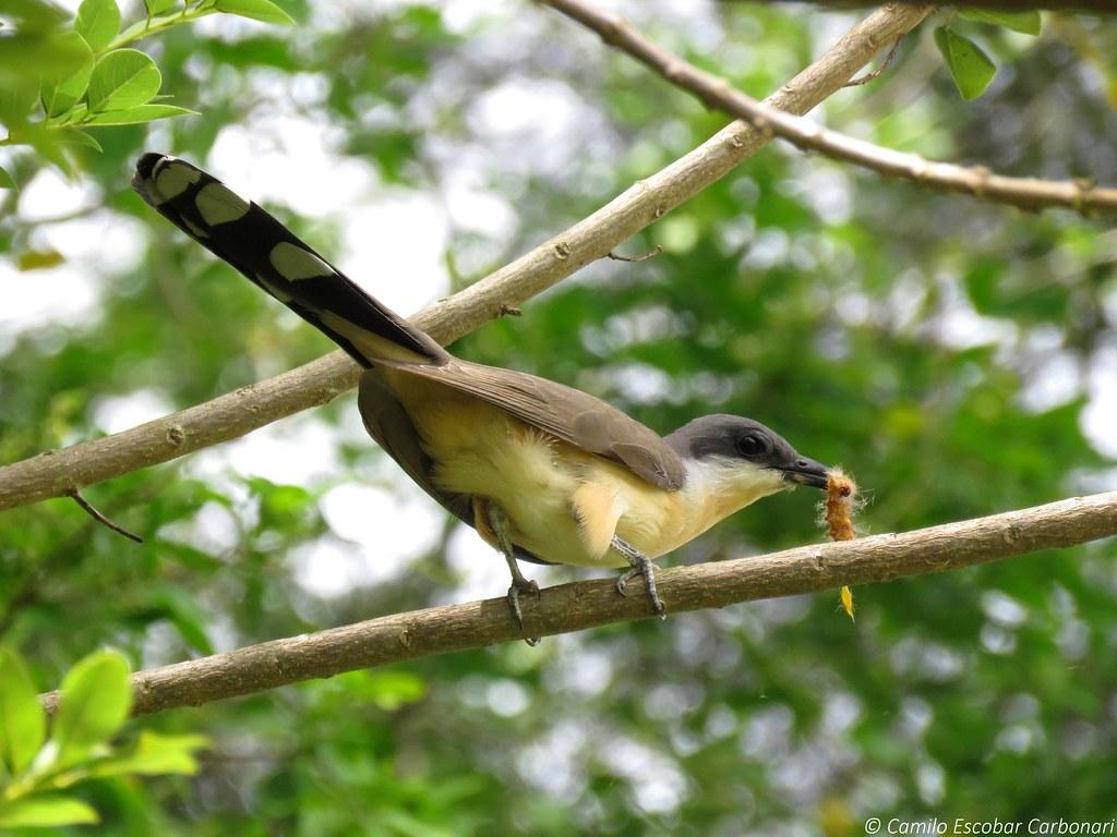 Dark-billed Cuckoo - Coccyzus melacoryphus - Cuco de Antifaz