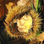 Fruchtbecher (Cupula) einer Edelkastanie (Castanea sativa) am Drachenfels