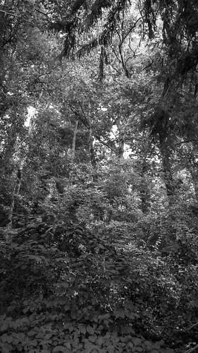 forest woods woodland dense lookingup westasheville northcarolina panasonic lumix lumixfz200 landscape blackandwhite monochrome monochromatic