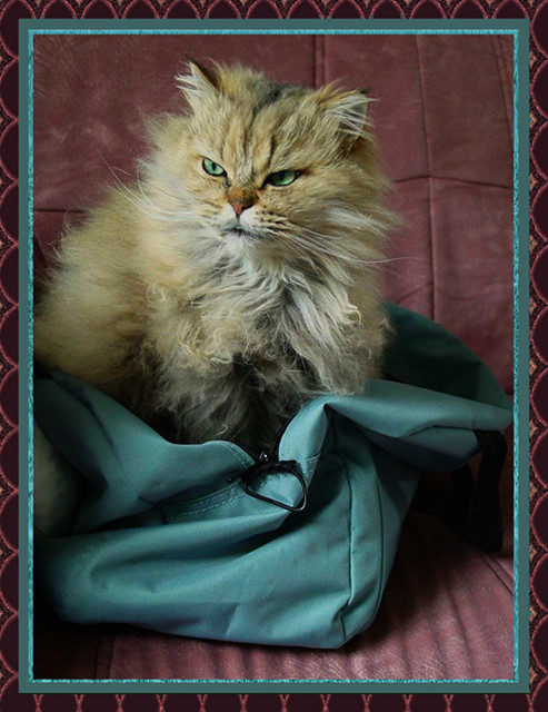 3097 Tiger our Tabby Persian darling