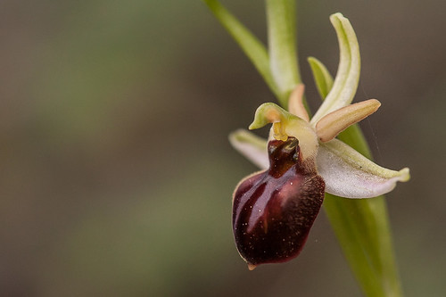 Ophrys cretensis | by macropoulos